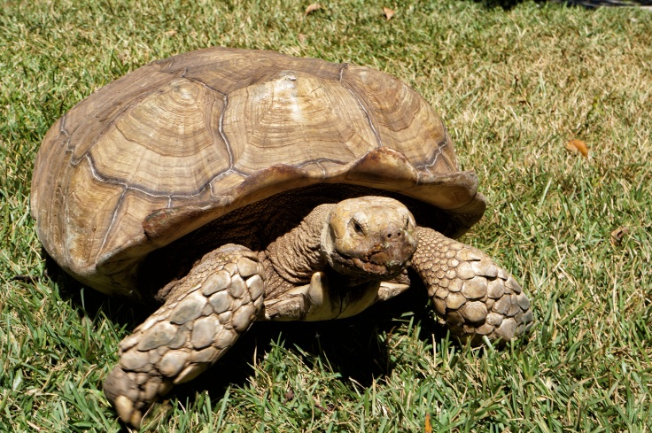 nature-wildlife-zoo-turtle-reptile-fauna-shell-wild-life-animals-tortoise-vertebrate-turtles-box-turtle-galapagos-el-salvador-common-snapping-turtle-emydidae-african-turtle-1280797 (1).jpg